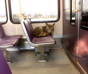 Coyote riding a train in Portland, Oregon.